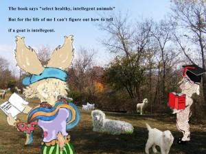 angora jane selects a goat #1